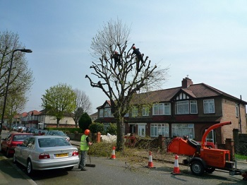 Pollarding_a_Horse_Chestnut_tree -credit J.Taylor_geograph.org.uk_-_1268299